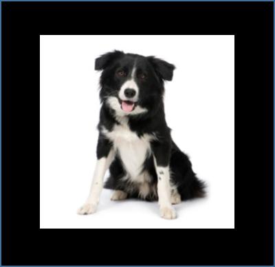 Middelgrote hond